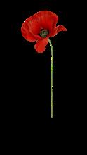 poppy-1952013_960_720